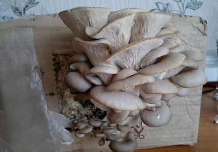 Домашняя грибница